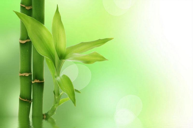 همه چیز درباره ی گیاه بامبو