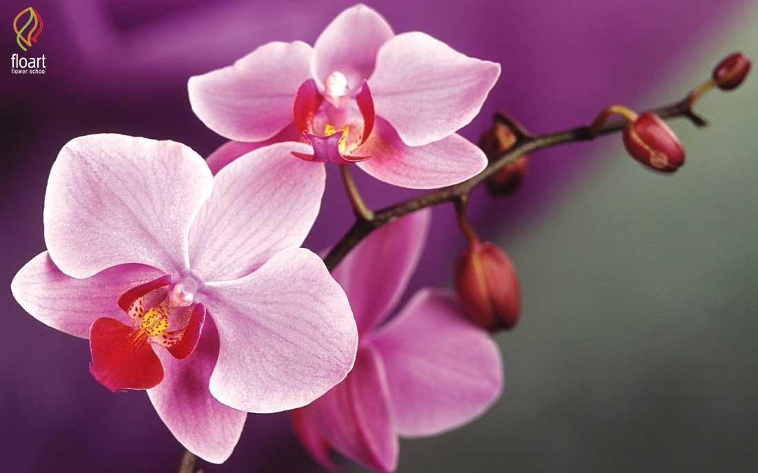 راهنمای نگهداری و پرورش گل ارکیده