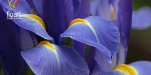 معرفی گل زنبق و اصول نگهداری آن
