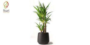 7 نکته مهم برای نگهداری گل یوکا در منزل