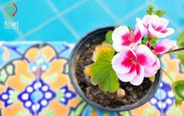 دانستنی های لازم در مورد گل شمعدانی