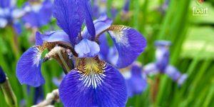 گل زنبق چیست و روش های نگهداری و تاکثیر آن چگونه است
